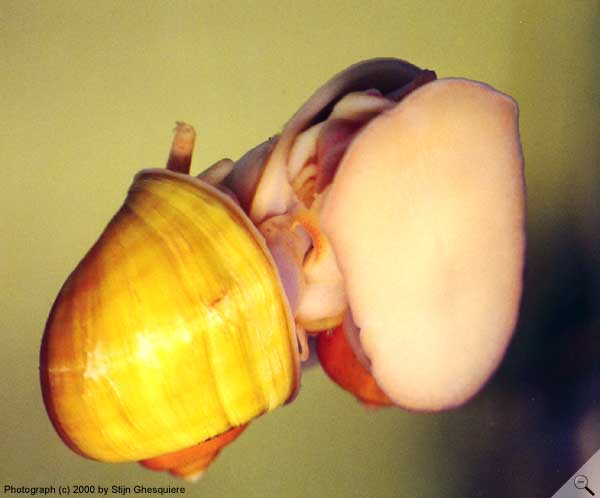 Ecology of apple snails (