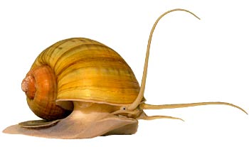 Communication on this topic: How to Care for Mystery Snails, how-to-care-for-mystery-snails/