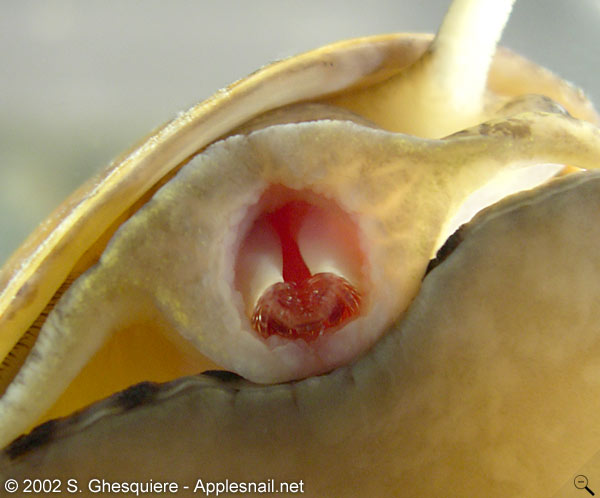 How to take care of apple snails: food, housing and breeding.